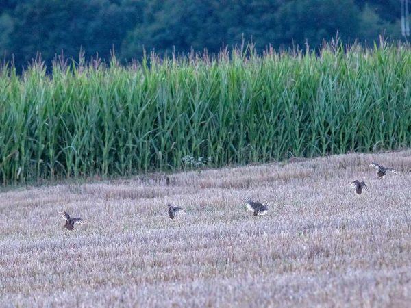 Rebhühner im Landeanflug; Foto: Mike Lauer
