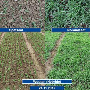Wintergerste (Sorte Wootan), Vergleich der Entwicklung im Herbst 2017 (Normal- und Spätsaat)