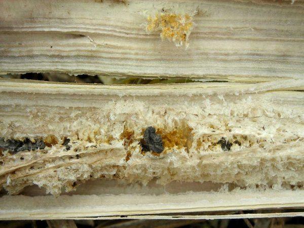 Sclerotinia-Befall - hier sind nach der Ernte in den Stengeln die Sclerotien sichtbar