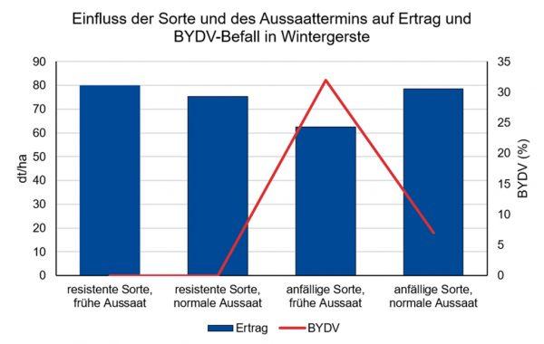 Grafik: Einfluss der Sorte und des Aussaattermins auf Ertrag und BYDV-Befall in Wintergerste. Es wird deutlich, dass Frühsaaten sich ungünstig auf den Virusbefall auswirken.