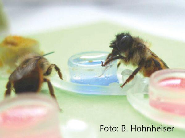 Abb. 1 Mauerbienen bei der Aufnahme von Thiacloprid-haltiger Zuckerlösung; Foto: B. Hohnheiser