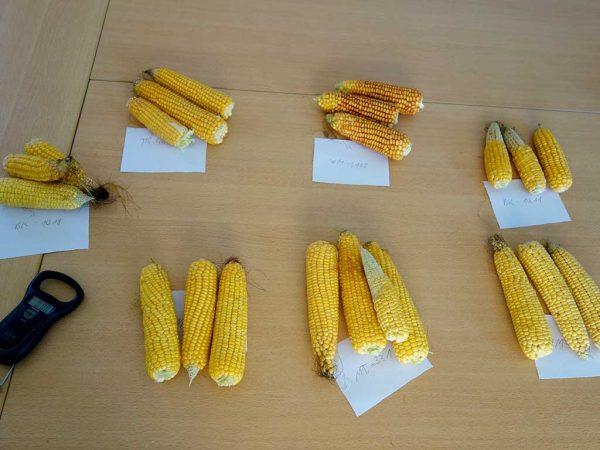 So unterschiedlich, wie sich die Maisschläge in der Abreife der Restpflanze zeigen, so unterschiedlich ist auch die Kolbenausbildung