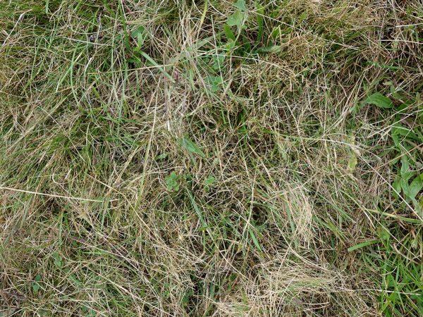 Diese extensiv bewirtschaftete Weidefläche kann durch einen aggressiv eingestellten Striegel von Filz und Gemeiner Rispe befreit werden