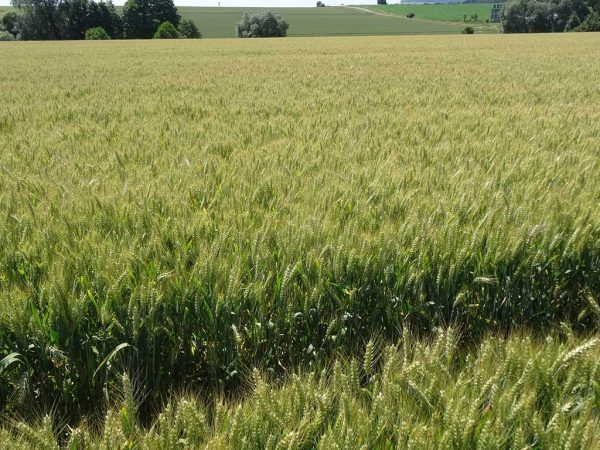 Begrannte Weizensorten finden zunehmende Verbreitung, insbesondere wenn sie auch etwas früher in der Abreife sind