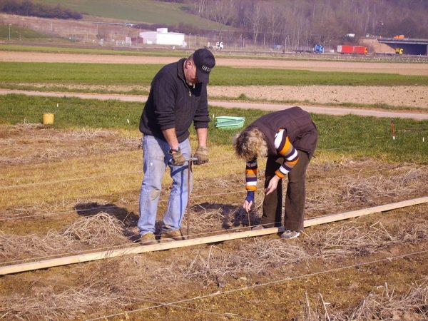 Pflanzung der Demonstrationsanlage mit Steckhölzern
