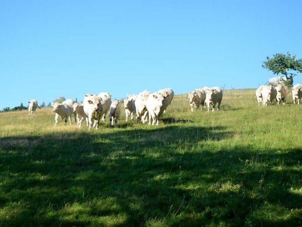 Ein großer Teil der Herde von Nicole und Dennis Eigenbrod, Branders, steht auf den hängigen Weiden oberhalb von Sieglos