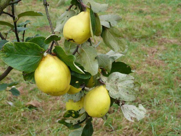 Quitten, reife Früchte der Sorte Bereczki