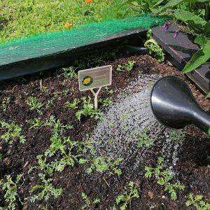 Gießen der umgesetzten Pflanzen