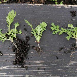 Vorsichtiges Herausnehmen einzelner Pflanzen erhält die Wurzeln
