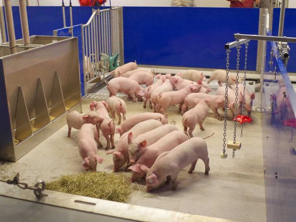 Schweinestall mit innovativem Haltungskonzept