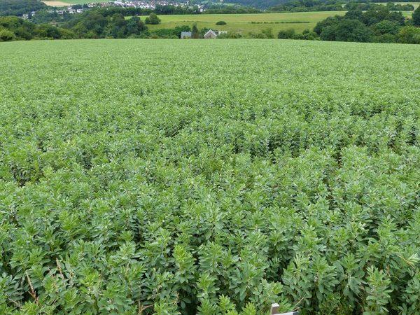 Von den Hülsenfrüchten ist nach wie vor die Ackerbohne die Hauptkultur in Hessen