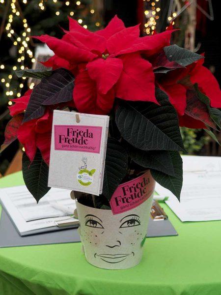 Am 12.12. wird der Tag des Weihnachtssterns gefeiert. Der Landesbetrieb Landwirtschaft Hessen (LLH) testet gemeinsam mit der Hochschule Geisenheim University (HGU) nachhaltige Produktionsverfahren des weihnachtlichen Verkaufsschlagers.