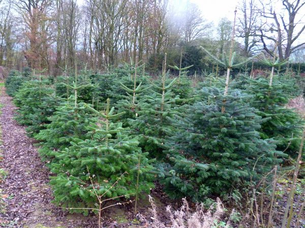 Weihnachtsbaumplantage…