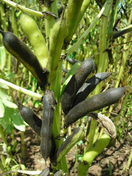 Mit der beginnenden Hülsenabreife der Ackerbohnen sollte auch die Strohabreife synchron laufen