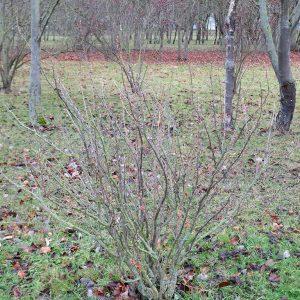 Bild 10a: Schwarze Johannisbeere vor Rückschnitt