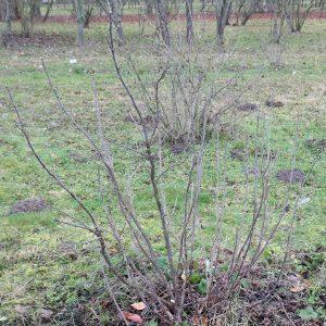 Bild 1b: Rote Johannisbeere nach Verjüngungsschnitt, siehe Bild1a
