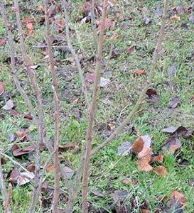 Bild 8: Schwarze Johannisbeere, Schnitt auf Seitentrieb