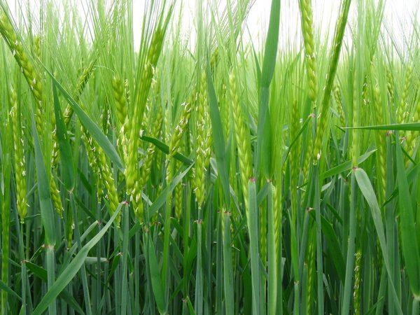 Getreide in der Kornfüllungsphase