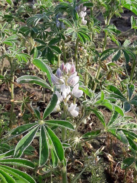 Blühende Weiße Lupine im Feld