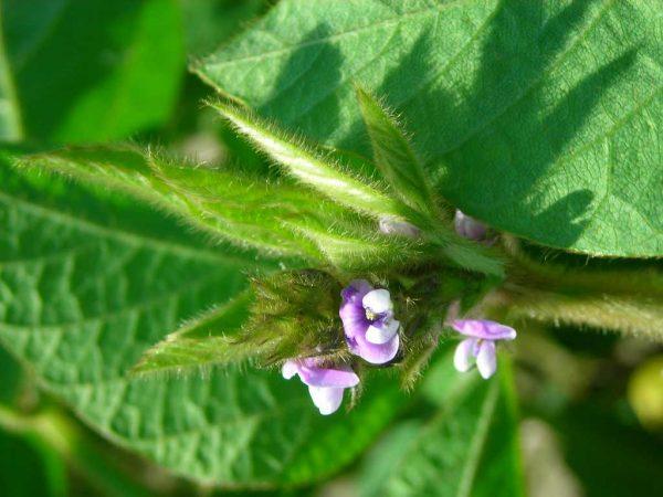 Im dichten Blattwerk sind die kleinen Blüten der Sojabohne oft nicht leicht zu erkennen