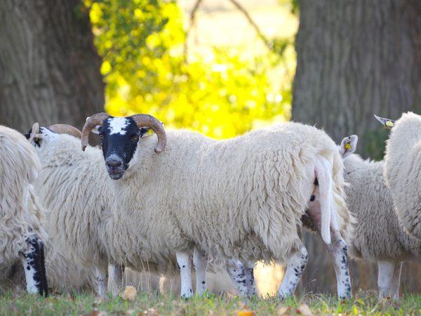 Unkupierte Schafe auf Weide