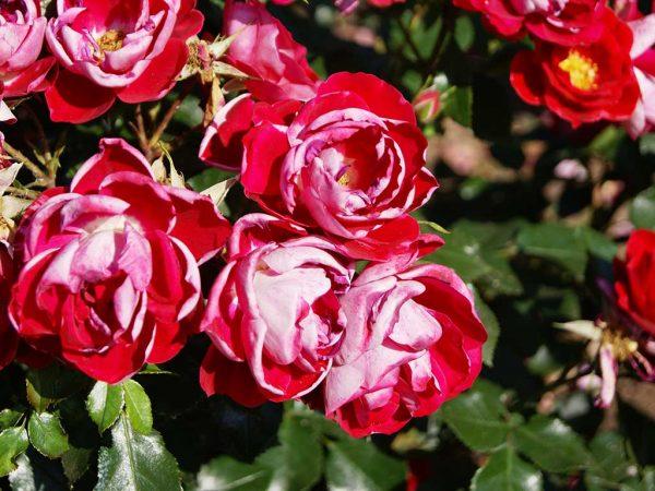 Bild 3: Sonnenbrand, Rosenblüten