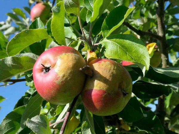 Bild 5: Frostzungen, Apfel