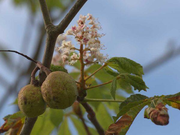 Bild 6: Aesculus hippocastanum, Frucht und Blüte, September 2020