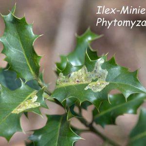 Ilex-Minierfliege, Phytomyza ilicis