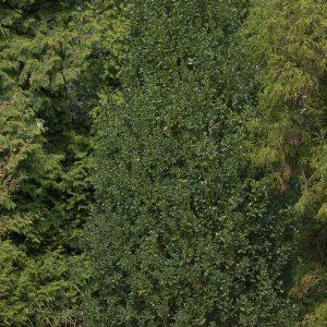 Ilex aquifolium 'Green Pillar', säulenförmiger Ilex im Botanischen Garten Hamburg