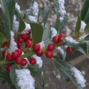 Ilex aquifolium 'Pyramidalis'-Früchte mit Schnee