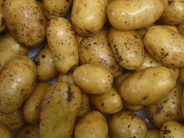 Kartoffel-Pflanzgut mit Rhizoctoniabefall