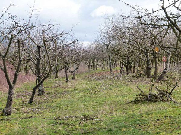 Die Bäume der Kirschplantage nach der Frostphase dieses Winters