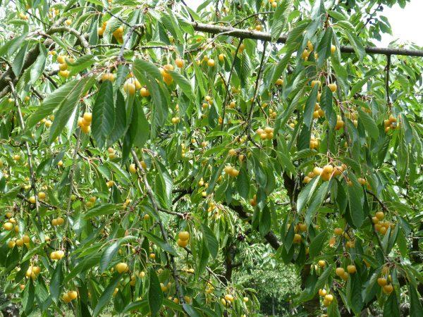 Süßkirschenbaum mit gelben Früchten