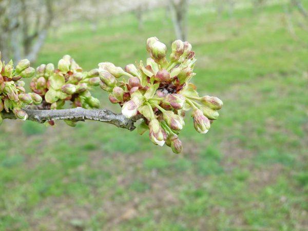 Zweig mit ersten, sich öffnenden Kirschblüten