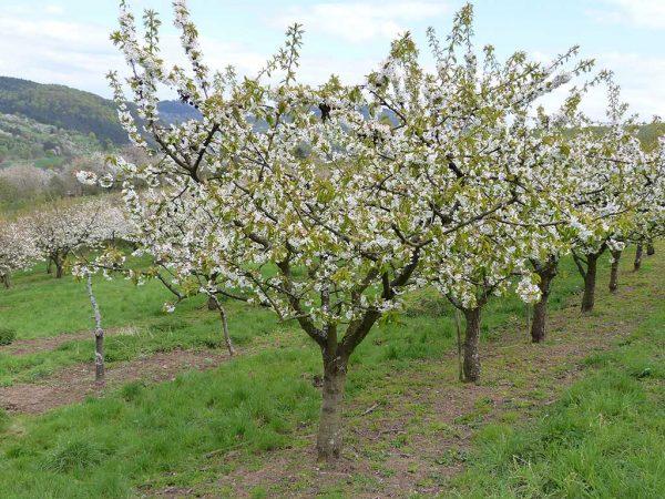 Eine Reihe Süßkirschbäume kurz vor der Vollblüte