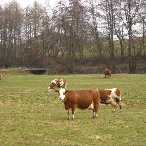 Bevor wärmere Temperaturen das Gras schnell wachsen lassen, die Kühe auf die Weide lassen