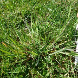 Wolliges Honiggras als minderwertiges Futtergras kann mit früher Beweidung zurückgedrängt werden