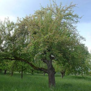 Stark befallener Baum 2018 im Raum Bad Vilbel