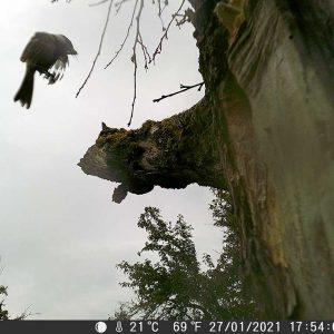 Aufnahme einer Fotofalle: Vogel im Anflug auf Baum