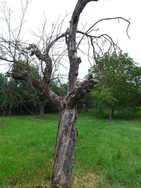 Abgestorbener Obstbaum