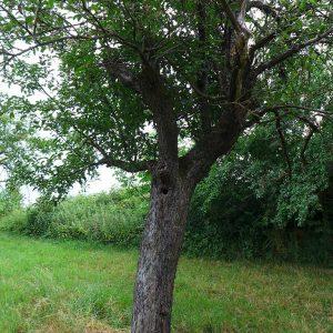 Vorsicht Artenschutz - alte Bäume sind für Vögel besonders wertvoll