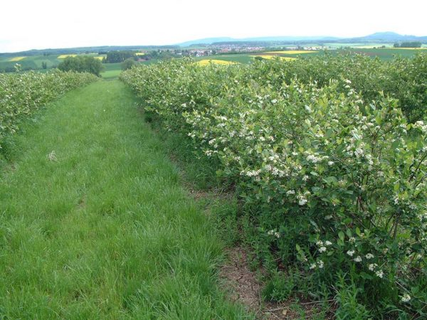Seit 2003 wurden in Nordhessen mehrere Aronia-Anlagen in Heckenform gepflanzt