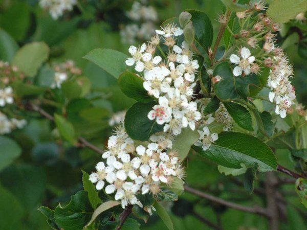 Die Creme-weißen Blüten im Mai und die intensive rotbraune Laubfärbung im Herbst machen Aronia auch als Ziergehölz attraktiv
