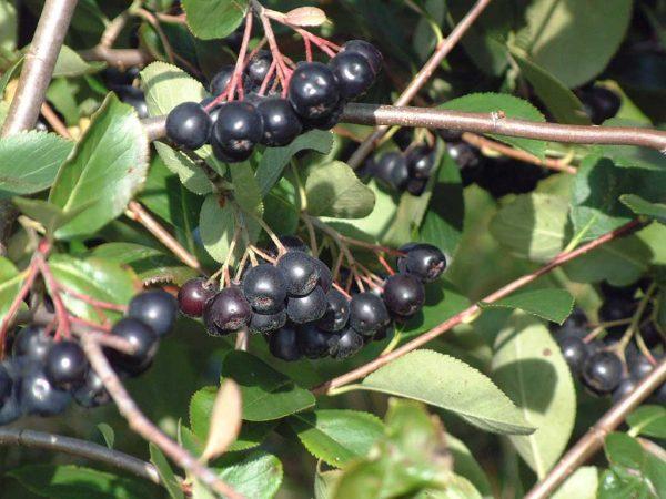 Aronia melanocarpa – die schwarze Apfelbeere – wird zunehmend auch in Hessen angebaut
