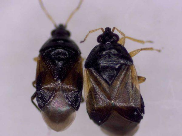 Oriuswanzen: Orius laevigatus und Orius majusculus