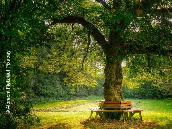 Großkroniger Baum auf einer Wiese, darunter eine Bank