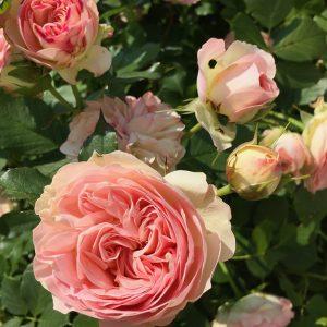 """Rose """"Biedermaier"""""""