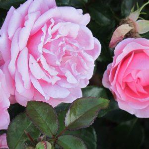 "Rose ""Crescendo"""