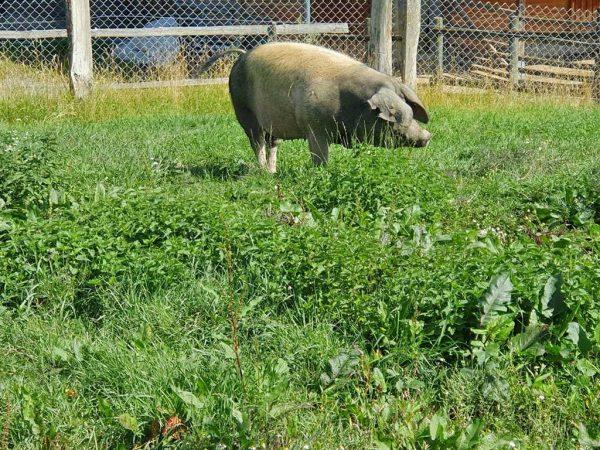 Hausschwein auf einer Wiese